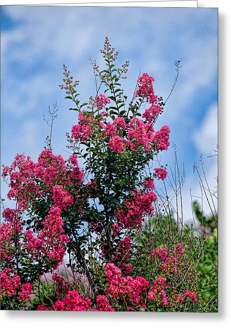 Crape Greeting Cards - Crape Mytle Tree Blossoms Greeting Card by Linda Phelps