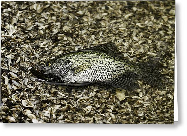 Crappies Greeting Cards - Crappie 1 Greeting Card by Thomas Young