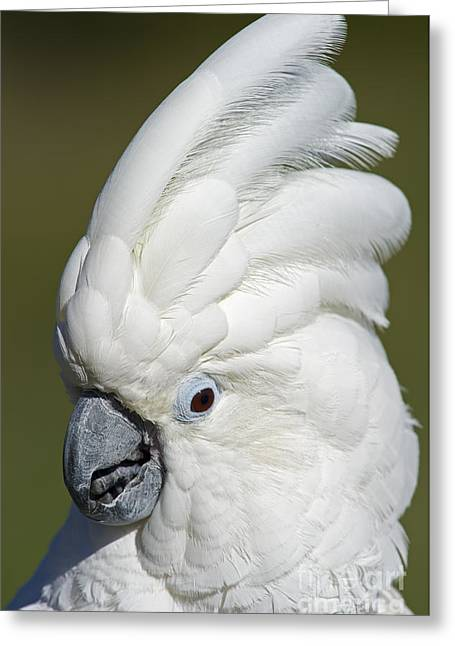 White Cockatoo Greeting Cards - Crazy as Crackers... Greeting Card by Nina Stavlund