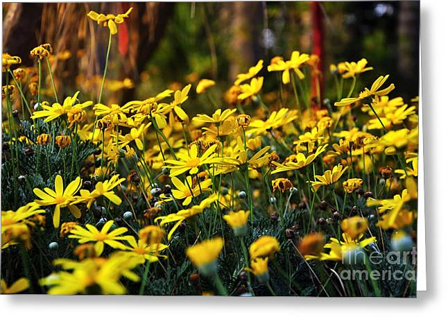 Daisy Bud Greeting Cards - Crazy Daisies Greeting Card by Kaye Menner
