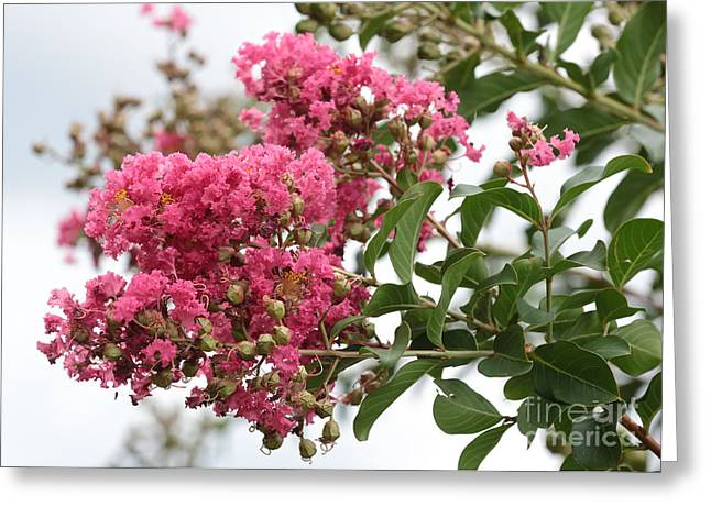 Crape Greeting Cards - Crazy for Crepe Myrtles Greeting Card by Carol Groenen