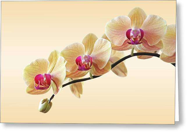 Soft Colour Greeting Cards - Cream Delight Greeting Card by Gill Billington