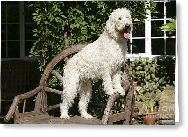 Labradoodle Greeting Cards - Cream Labradoodle On Wooden Chair Greeting Card by John Daniels