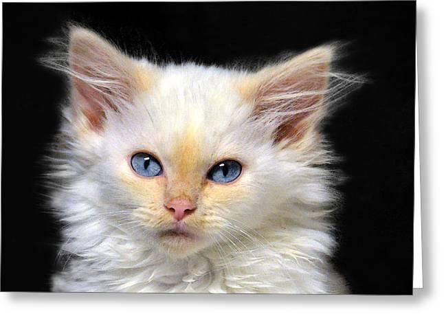 Cream Siamese Kitten Greeting Card by Catherine Sherman