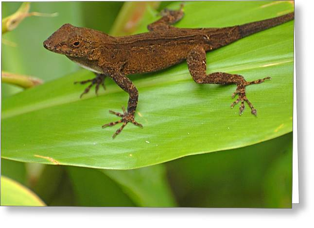 San Juan Bautista Greeting Cards - Creature In Puerto Rico Rain Forest Greeting Card by Willie Harper
