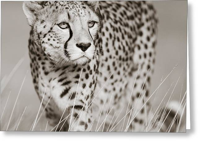 Tiere Greeting Cards - Creeping Cheetah Greeting Card by Regina Mueller