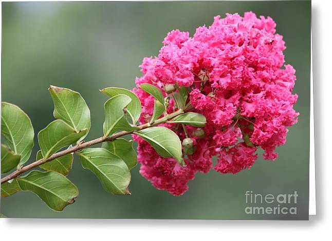 Crape Greeting Cards - Crepe Myrtle Branch Greeting Card by Carol Groenen