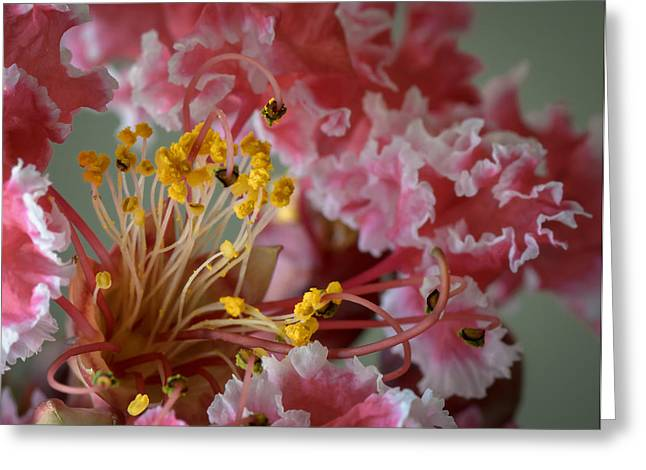 Crape Greeting Cards - Crepe Myrtle Greeting Card by James Barber