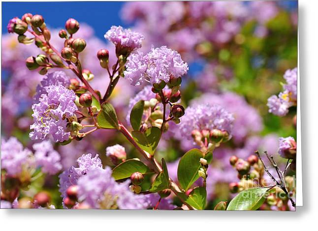 Indica Greeting Cards - Crepe Myrtle Greeting Card by Kaye Menner