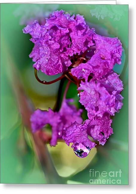 Petals With Droplets Greeting Cards - Crepe Myrtle with Droplet by Kaye Menner  Greeting Card by Kaye Menner