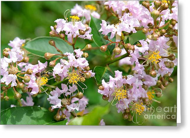 Crape Greeting Cards - Crepe Myrtle World Greeting Card by Carol Groenen