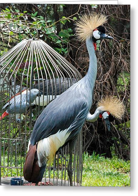 Geobob Greeting Cards - Crested Cranes and Caged Cockatoo Bird Stipp Hotel Gisenyi Rwanda Central Africa Greeting Card by Robert Ford