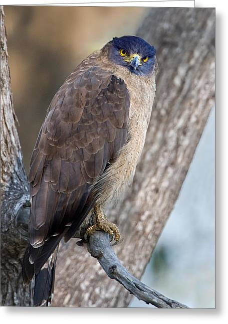 Bird On Tree Greeting Cards - Crested Serpent Eagle Spilornis Cheela Greeting Card by Panoramic Images