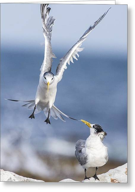 Tern Greeting Cards - Crested terns Greeting Card by Science Photo Library