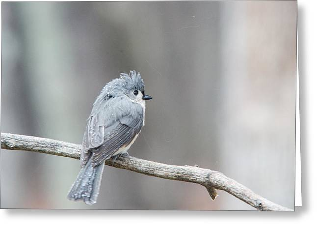 Bird Pin Greeting Cards - Crested Titmouse Greeting Card by Douglas Barnett