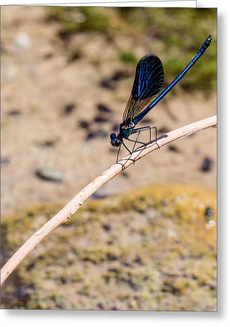 Demoiselles Greeting Cards - Cretan damselfly  Greeting Card by Paul Cowan