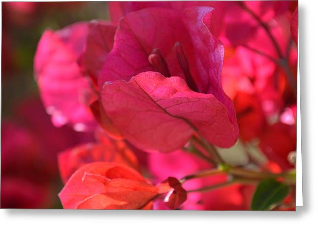 Crimson Bougainvillia Greeting Card by Cheryl Miller