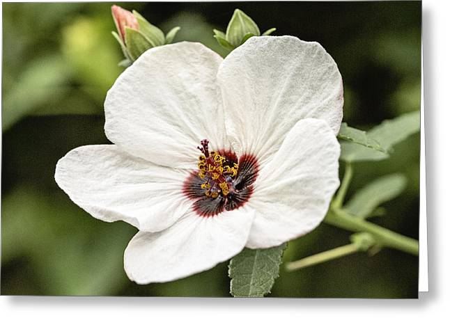 Mallow Greeting Cards - Crimson-eyed Mallow Greeting Card by Scott Pellegrin