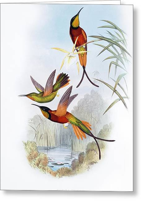 Hovering Greeting Cards - Crimson topaz hummingbirds Greeting Card by Science Photo Library