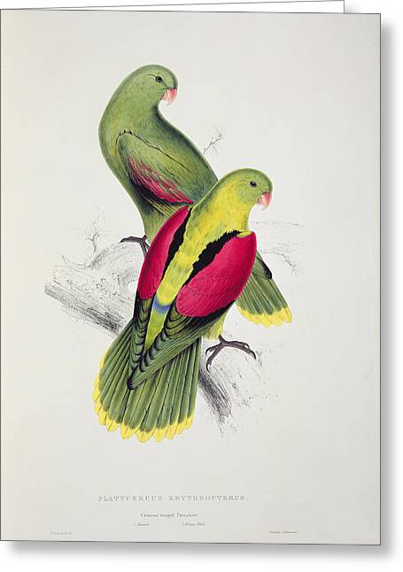 Crimson Drawings Greeting Cards - Crimson Winged Parakeet Greeting Card by Edward Lear