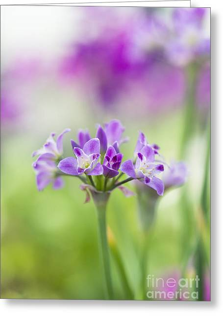 Depth Of Field Greeting Cards - Crinkled Onion Flower Greeting Card by Tim Gainey