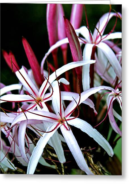 Crinum Asiaticum Spider Lily Hawaii Greeting Card by Karon Melillo DeVega