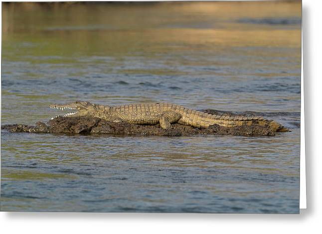 Crocodile Cooling Off On Rock Greeting Card by Panoramic Images