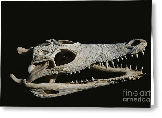 Crocodile Skull Greeting Card by Gregory G. Dimijian, M.D.