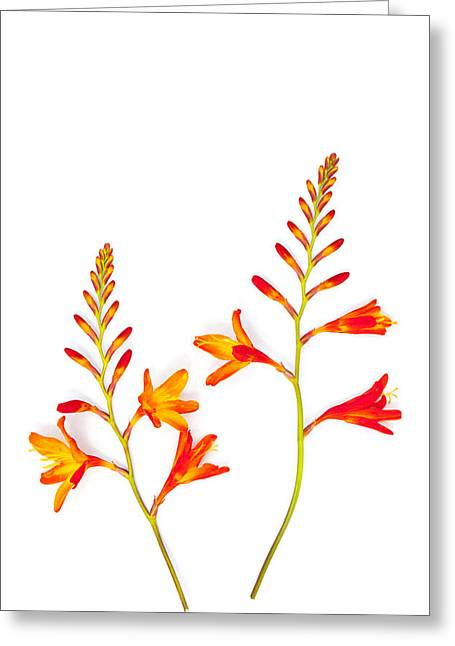 Crocosmia On White Greeting Card by Carol Leigh