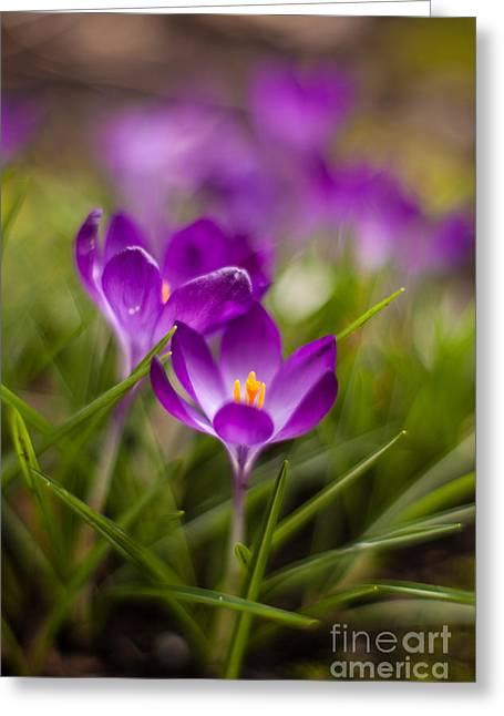 Crocus Blooms Spring Garden Greeting Card by Mike Reid