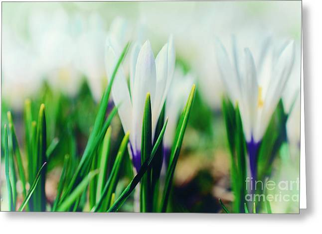 Fruehling Greeting Cards - Crocus Blue Greeting Card by Sabine Jacobs