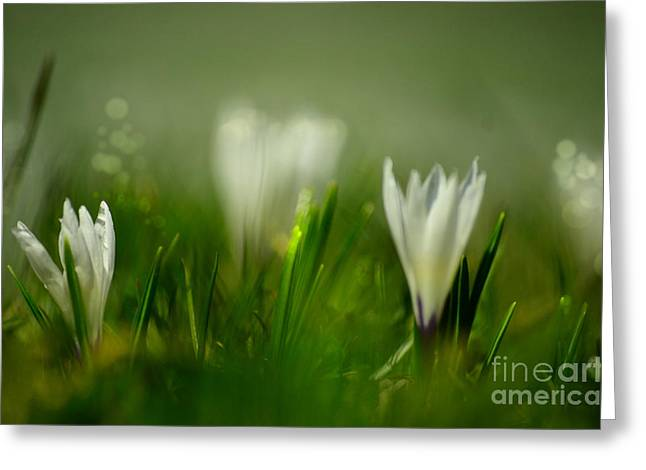 Blossoms Greeting Cards - Crocus Dream 3 Greeting Card by Sabine Jacobs