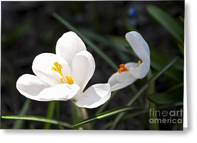 Crocus Greeting Cards - Crocus flower basking in sunlight Greeting Card by Elena Elisseeva