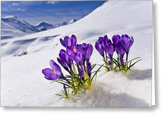 Cold Day Greeting Cards - Crocus Flower Peeking Up Through The Greeting Card by Kevin Smith