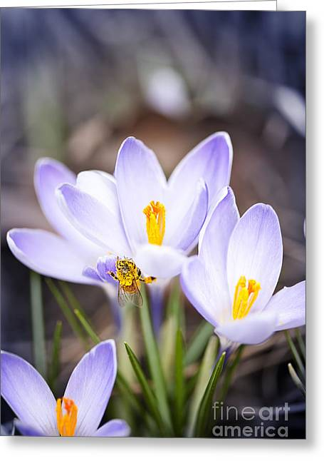 Crocus Greeting Cards - Crocus flowers and bee Greeting Card by Elena Elisseeva