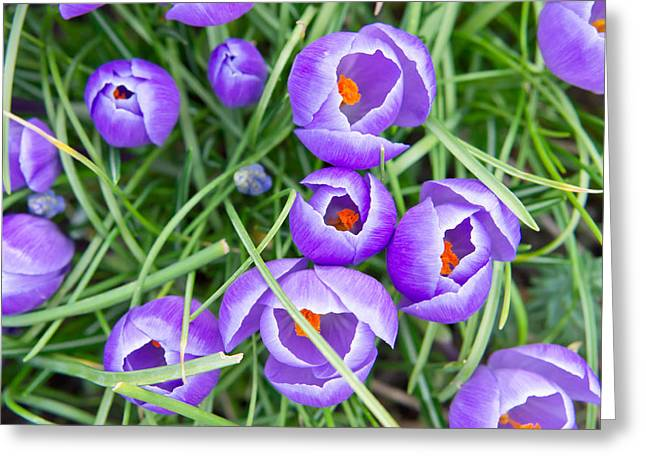 Beauty Greeting Cards - Crocus flowers Greeting Card by Tom Gowanlock