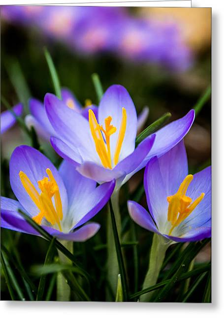 Aspect Greeting Cards - Crocus in Purple Greeting Card by Shelby  Young