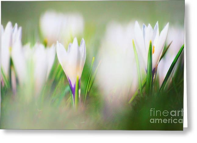 Mothers Day Greeting Cards - Crocus Meadow 3 Greeting Card by Sabine Jacobs