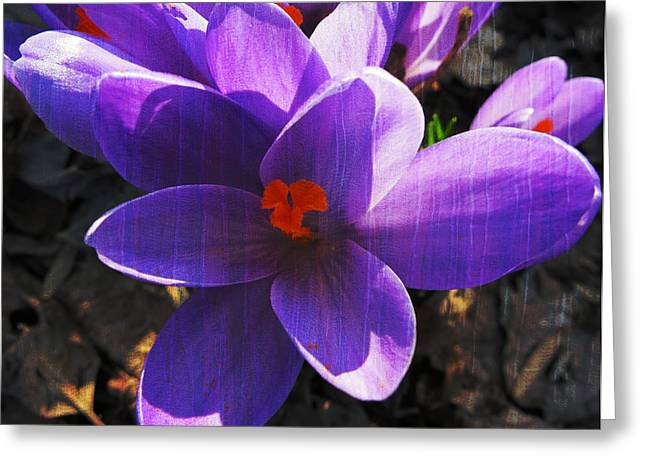 Harriet Beecher Stowe Greeting Cards - Crocus Purple and Orange Greeting Card by Patricia Januszkiewicz