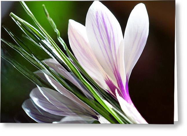 Closup Greeting Cards - Crocus Reflections 2 Greeting Card by  Andrea Lazar