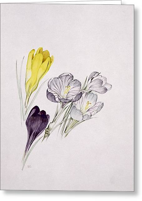 Crocus Greeting Cards - Crocus Greeting Card by Sarah Creswell