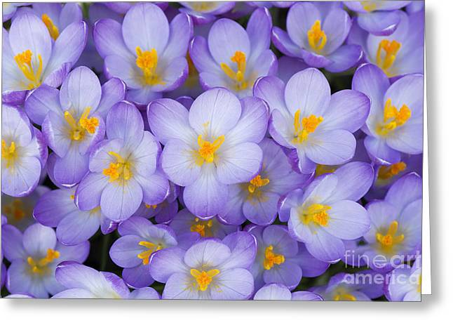 Lilac Greeting Cards - Crocus Vernus Queen of the Blues  Greeting Card by Tim Gainey