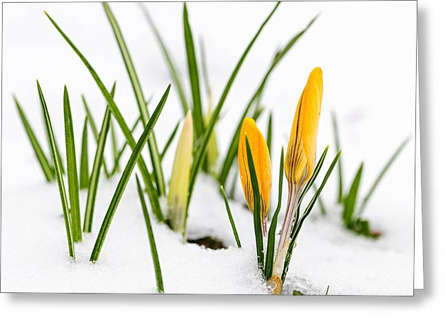 Crocus Greeting Cards - Crocuses in snow Greeting Card by Elena Elisseeva