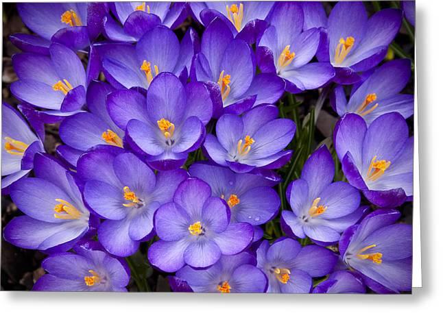 Crocus Flowers Greeting Cards - Crocuses Greeting Card by Leo Cumings
