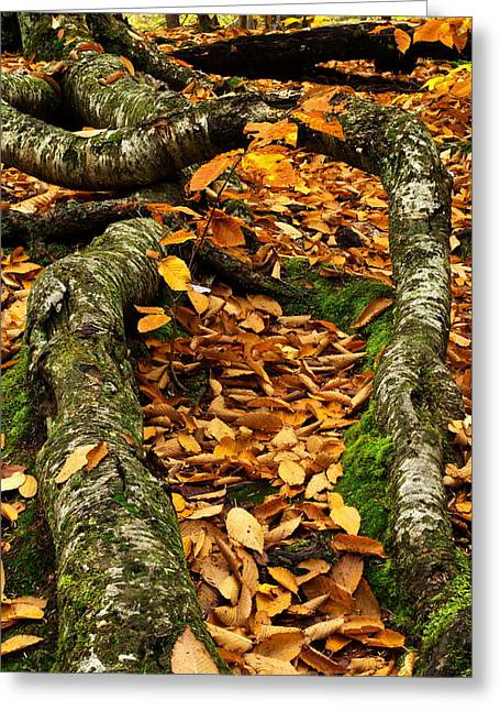 Tree Roots Greeting Cards - Crooked Roots Greeting Card by Amanda Kiplinger