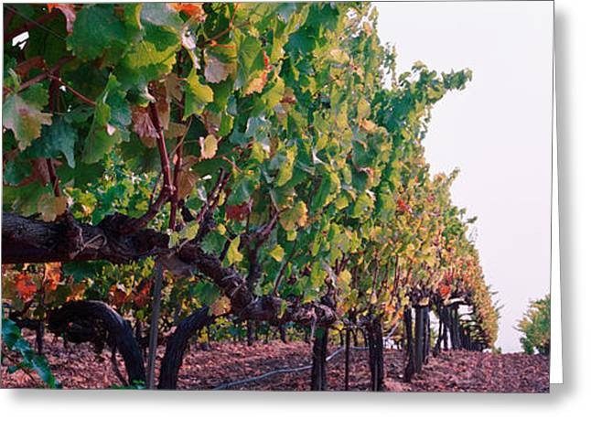 Sonoma County Vineyards. Greeting Cards - Crops In A Vineyard, Sonoma County Greeting Card by Panoramic Images