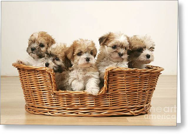 Breeds Greeting Cards - Cross Breed Puppies, Five In Basket Greeting Card by John Daniels