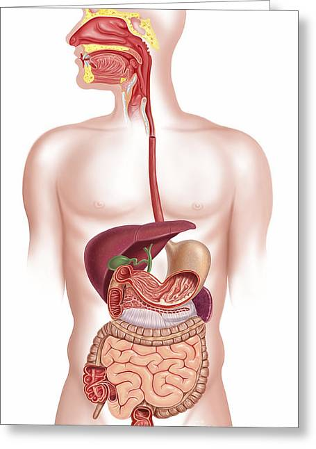 Three-quarter Length Digital Greeting Cards - Cross Section Of Human Digestive System Greeting Card by Leonello Calvetti
