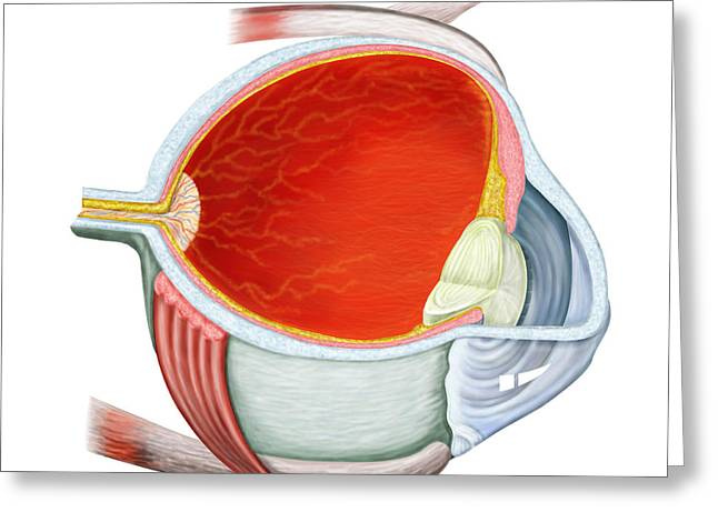 Optic Canal Greeting Cards - Cross Section Of Human Eye Greeting Card by Stocktrek Images