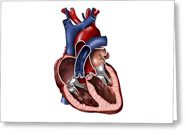 Cava Greeting Cards - Cross Section Of Human Heart Greeting Card by Stocktrek Images